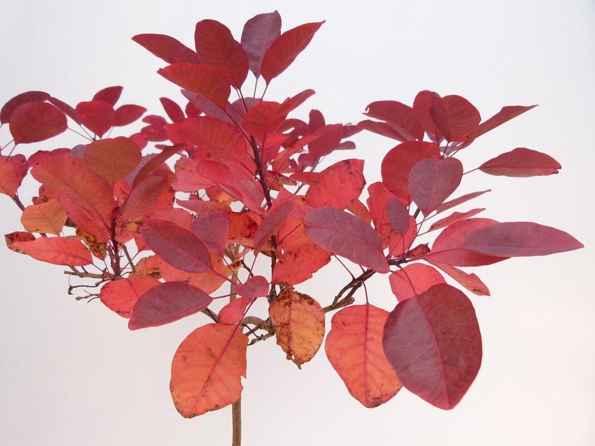 Cotinus grace arbre perruques feuillage for Plante feuille rouge