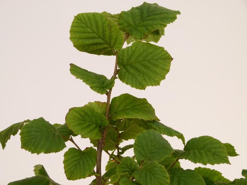 Corylus avellana noisetier commun p pini re en ligne for Site de vente de plantes en ligne