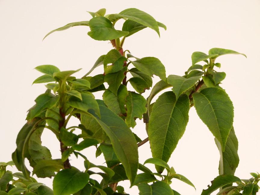 hydrangea semiola hortensia grimpant persistant p pini re en ligne de kerzarc 39 h. Black Bedroom Furniture Sets. Home Design Ideas