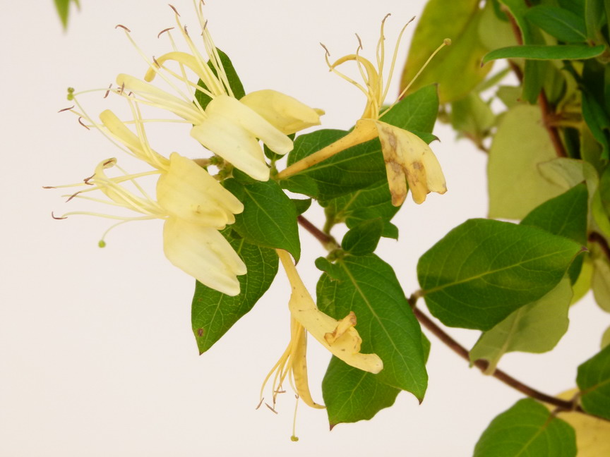 LONICERA japonica Hall's Prolific