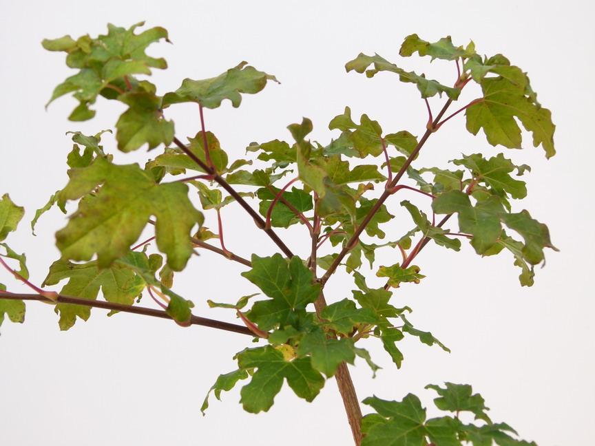 Acer campestre erable champ tre p pini re en ligne de for Commande de plantes en ligne