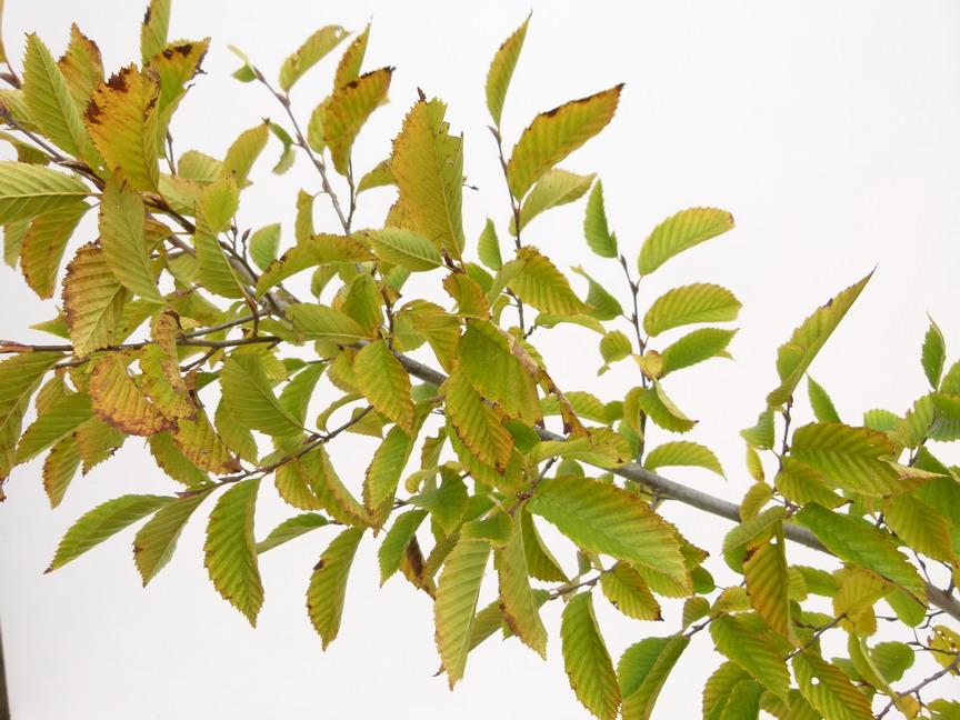 Carpinus betulus fastigiata charme pyramidal p pini re for Commande de plantes en ligne
