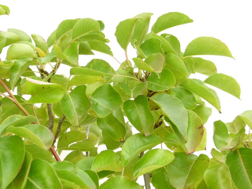 Pyrus calleryana chanticleer poirier d 39 ornement poirier for Commande de plantes en ligne