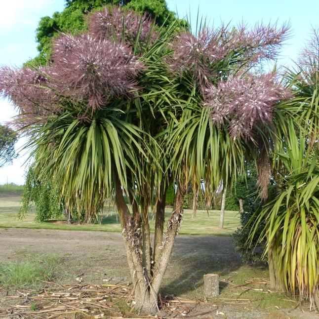 cordyline australis palmier de nouvelle z lande p pini re en ligne de kerzarc 39 h. Black Bedroom Furniture Sets. Home Design Ideas