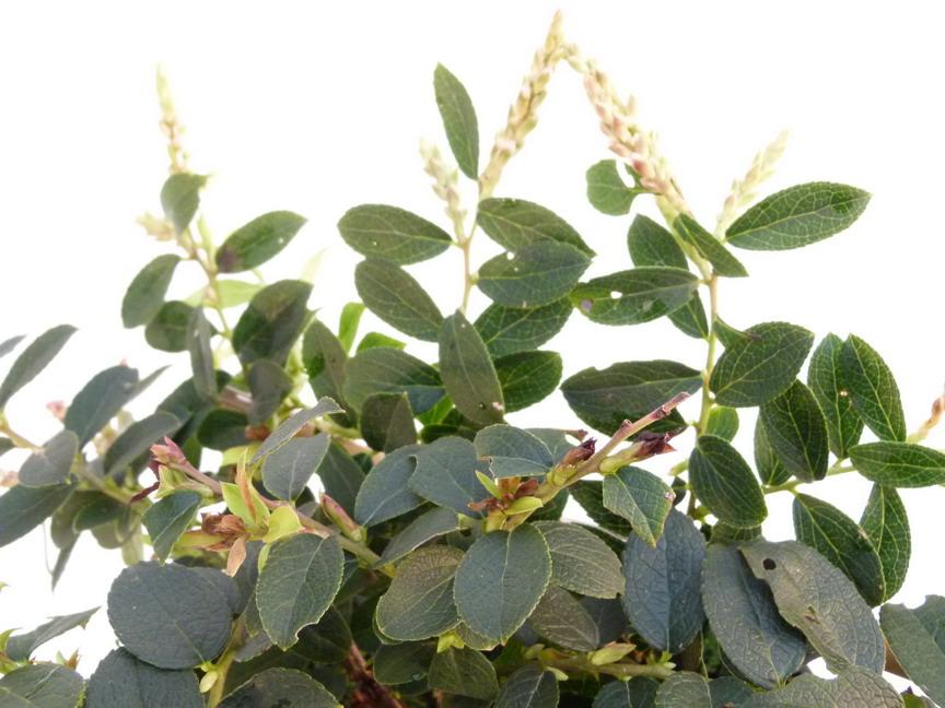 Gaultheria eriophylla gaultheria eriophylla palommier for Commande de plantes en ligne