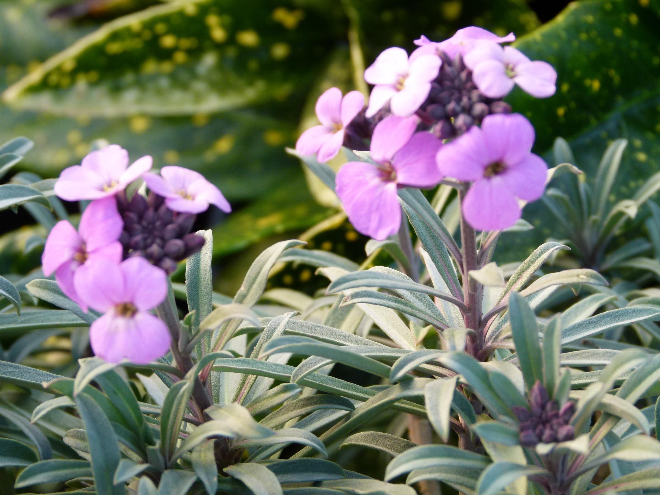Cheiranthus linifolium bowles purple girofl e arbustive for Commande de plantes