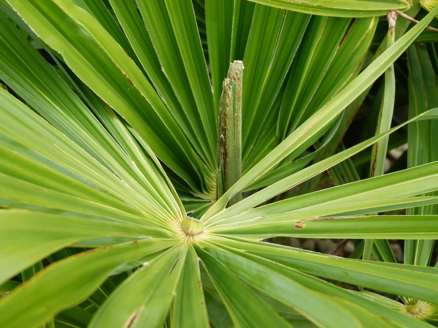trachycarpus fortunei palmier rustique palmier chanvre palmier de chine p pini re en ligne. Black Bedroom Furniture Sets. Home Design Ideas