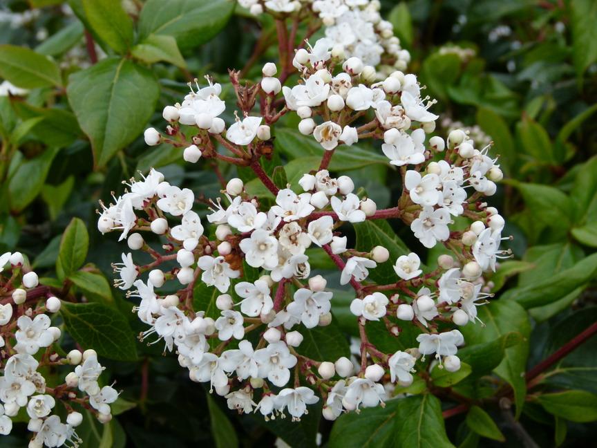 Viburnum Tinus Lucidum Laurier Tin Lucidum Laurier Fleurs