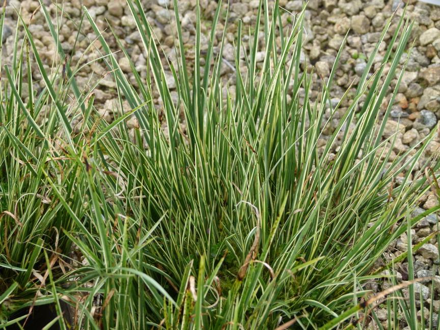 Gramin es floraison blanche p pini re en ligne de for Site de vente de plantes en ligne