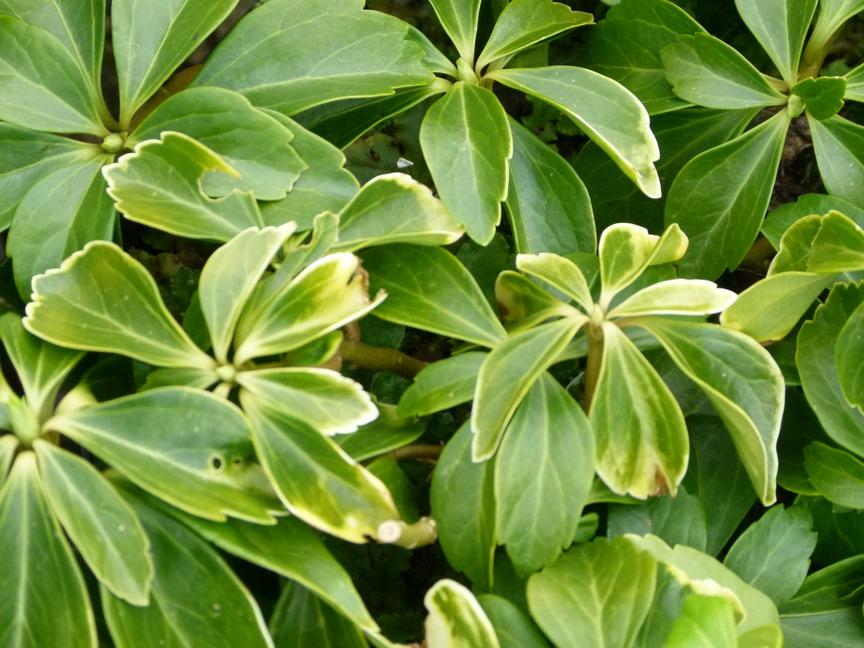 Pachysandra terminalis pachysandre du japon p pini re for Commande plante en ligne