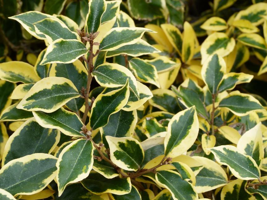Elaeagnus gilt edge el agnus panach gilt for Site de plante en ligne