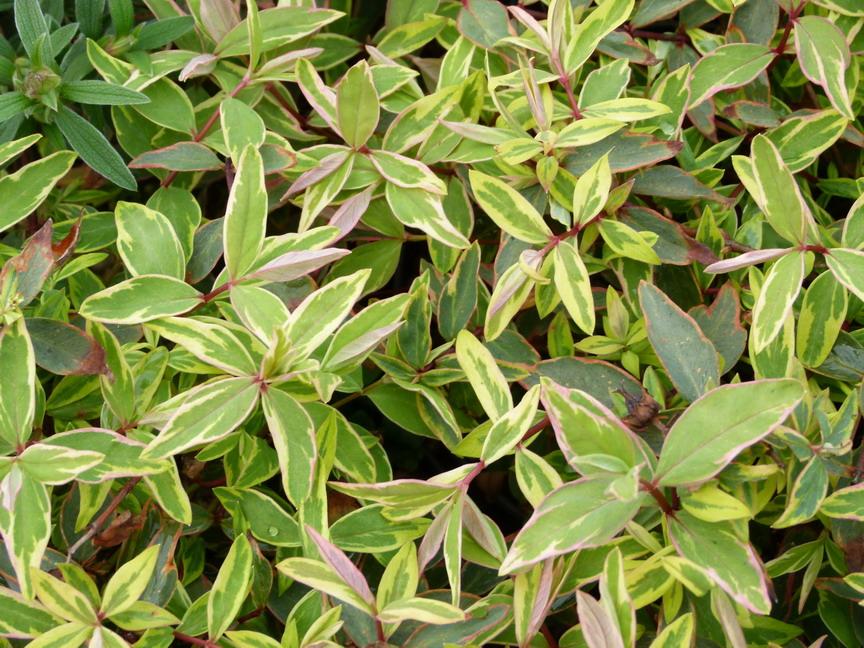 hypericum tricolor millepertuis de moser tricolor p pini re en ligne de kerzarc 39 h. Black Bedroom Furniture Sets. Home Design Ideas