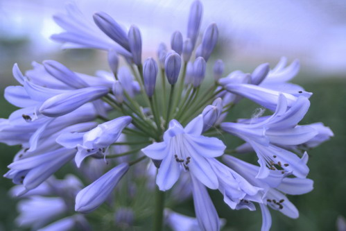 AGAPANTHUS Blue Baby