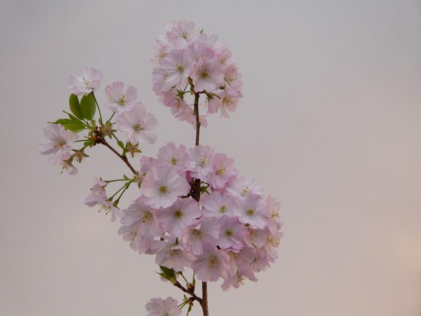 Prunus accolade cerisier fleurs accolade p pini re en for Commande plante en ligne