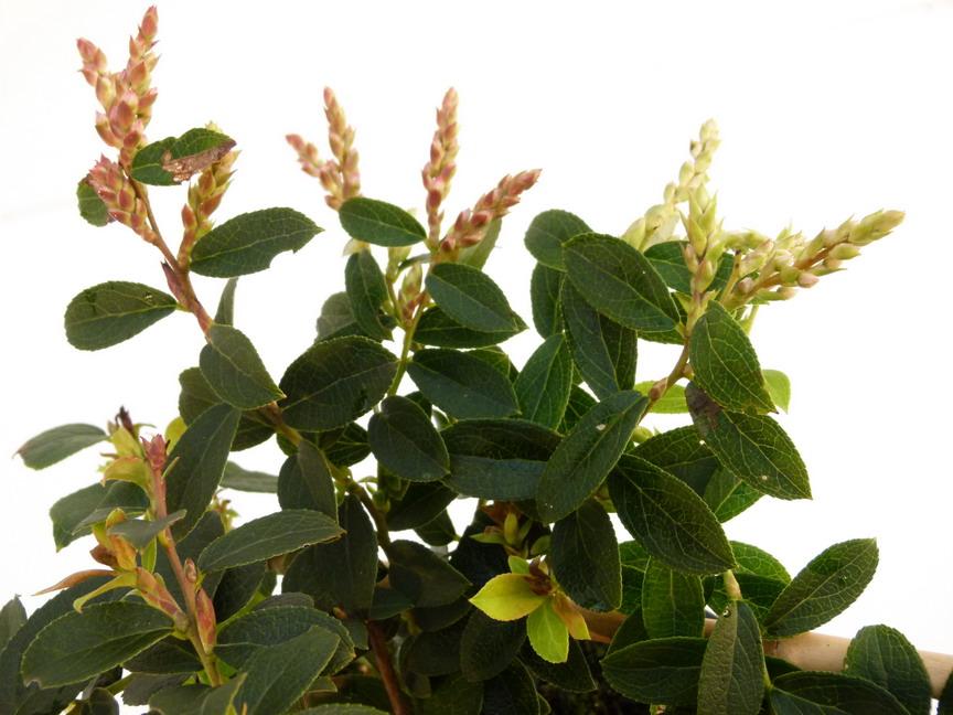 Gaultheria eriophylla gaultheria eriophylla palommier for Site de vente de plantes en ligne