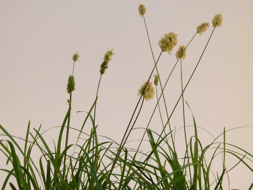Sesleria heuffleriana sesleria p pini re en ligne de for Commande de plantes en ligne