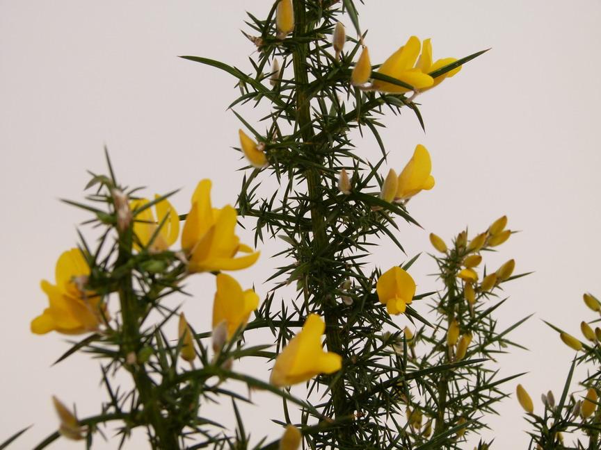 Ulex europaeus ajonc commun p pini re en ligne de for Commande plante en ligne