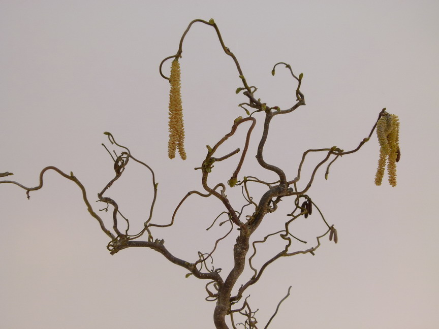 Corylus avellana contorta noisetier tortueux coudrier for Vente de vegetaux en ligne