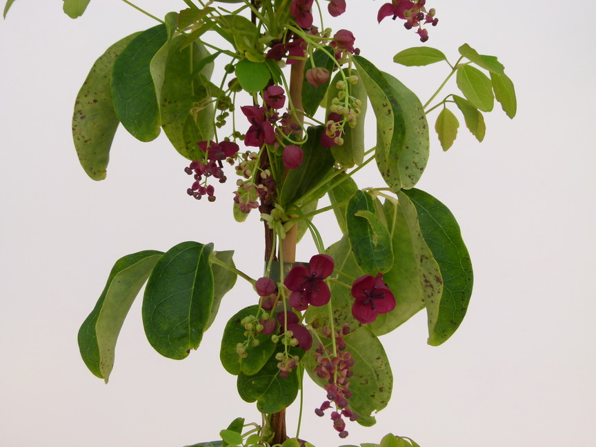 Akebia quinata ak bia quinata ak bie cinq feuilles for Commande plante en ligne