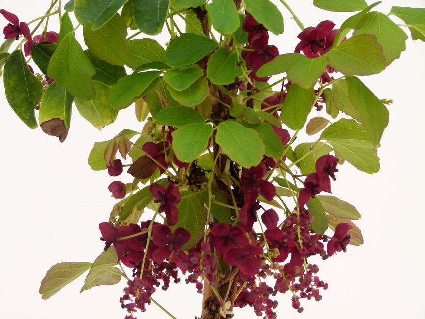 Plantes vari es plantes grimpantes et palisser for Site de vente de plantes en ligne