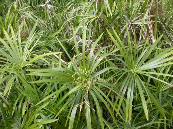 cyperus eragrostis souchet vigoureux souchet robuste p pini re en ligne de kerzarc 39 h. Black Bedroom Furniture Sets. Home Design Ideas