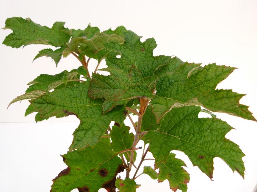 hydrangea quercifolia applause hortensia feuilles de ch ne applause p pini re en ligne de. Black Bedroom Furniture Sets. Home Design Ideas
