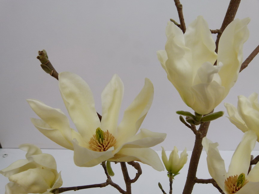 Magnolia acuminata elizabeth magnolia elizabeth arbre for Commande de plantes en ligne