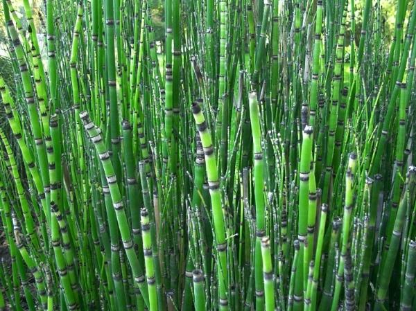 Equisetum japonicum pr le du japon pr le japonaise for Catalogue de plantes en ligne