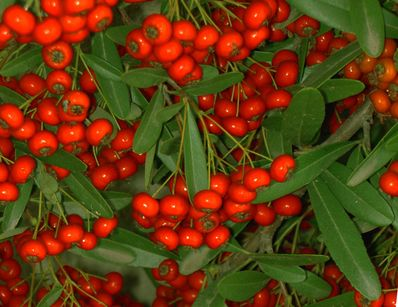 PYRACANTHA Saphyr Rouge ® : fructification d'automne.