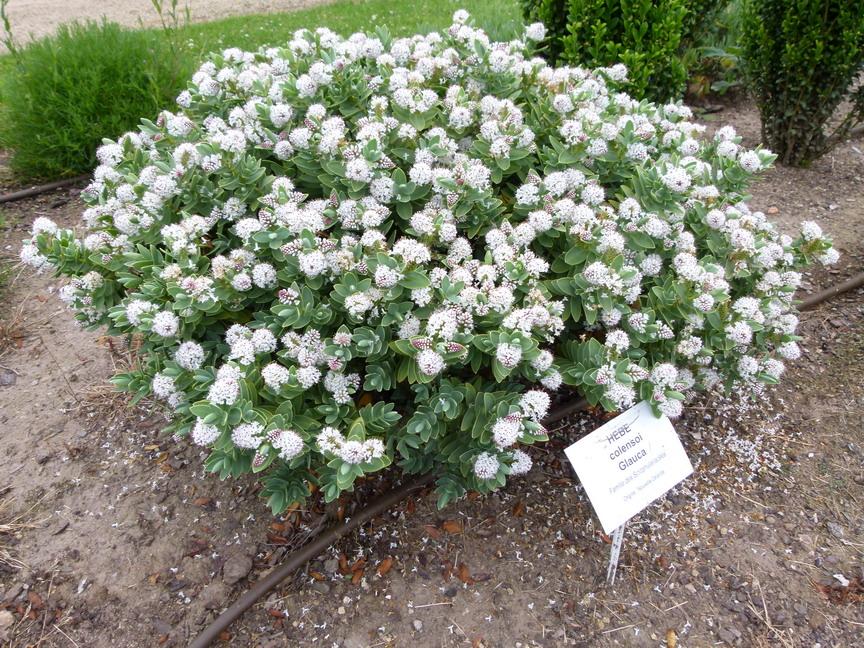 Hebe colensoi glauca v ronique colensoi glauca for Site de vente de plantes en ligne