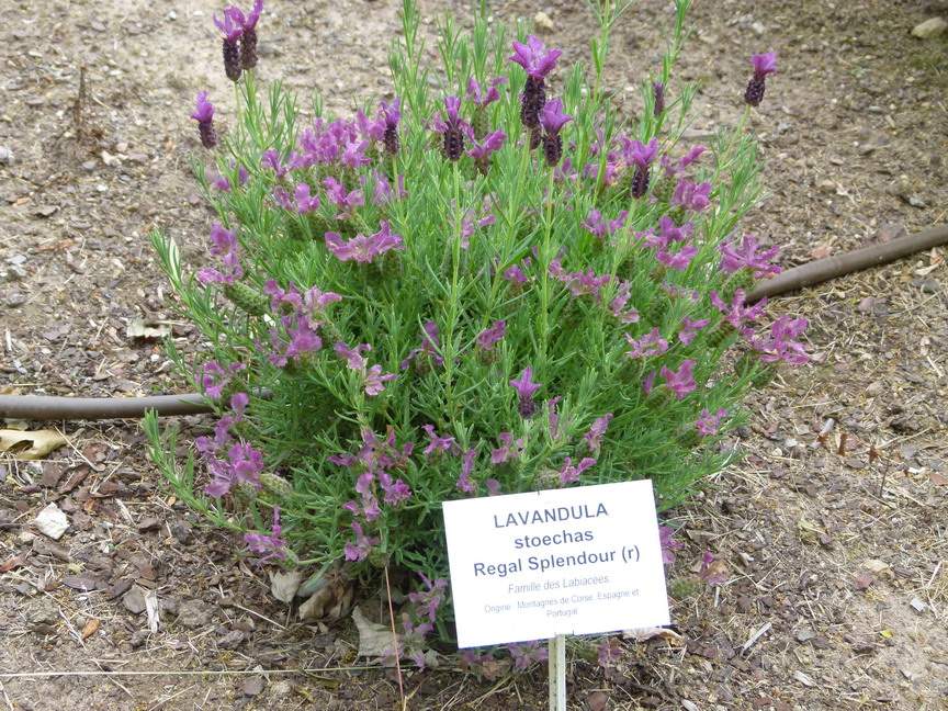 LAVANDULA stoechas Regal Splendour ®