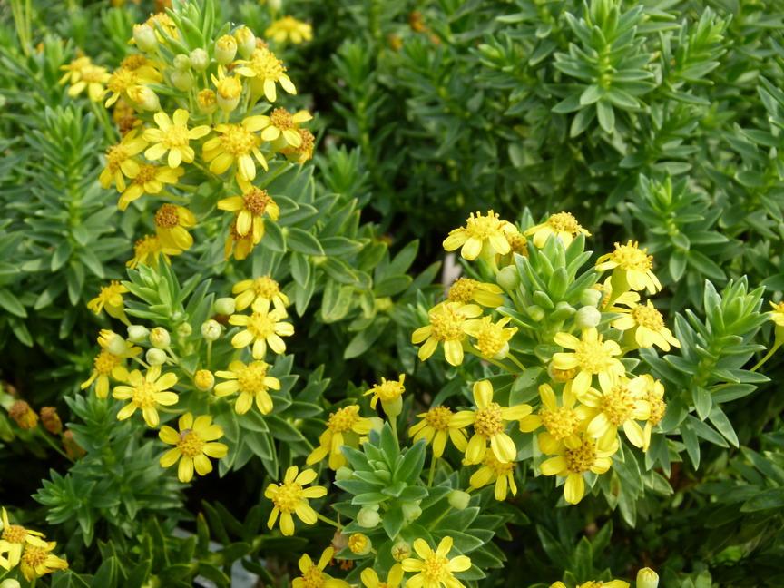 Euryops tysonii euryops tysonii marguerite des savanes for Commander des plantes en ligne