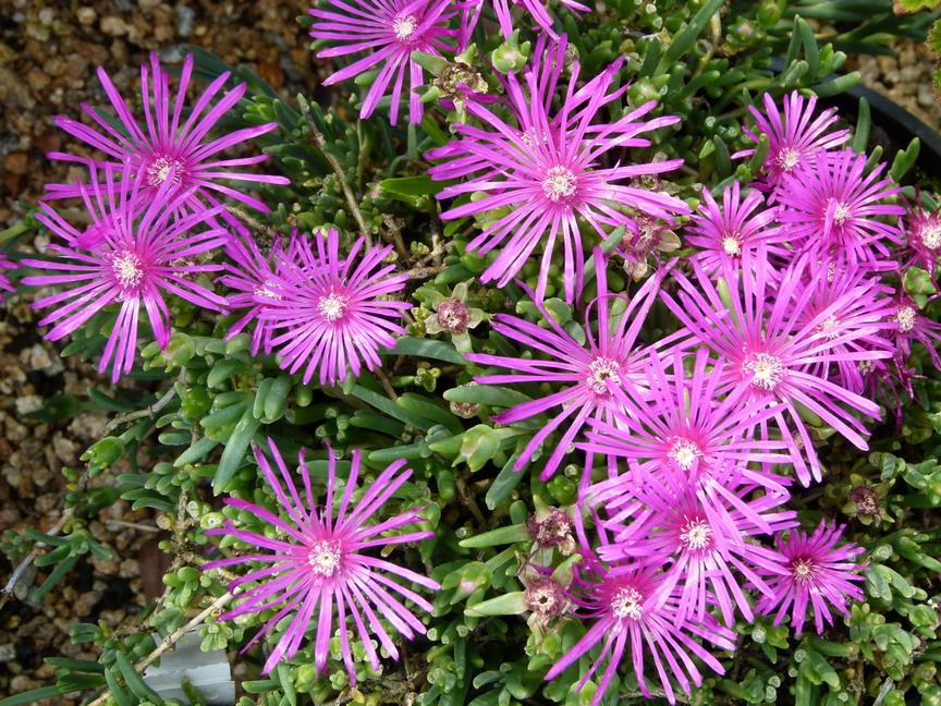 Lampranthus roseus lampranthe peronn e ficoide violet for Site de vente de plantes en ligne