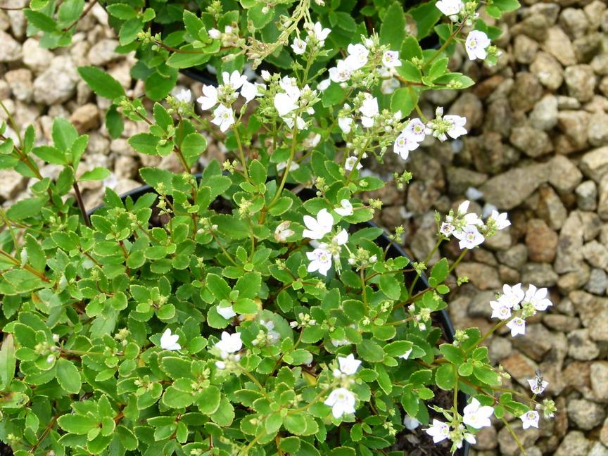 Parahebe lyallii parahebe lyallii p pini re en ligne for Site de vente de plantes en ligne
