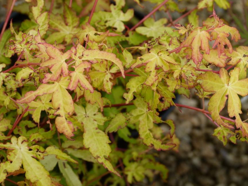 acer palmatum ueno yama | erable palmatilobé, érable du japon ueno