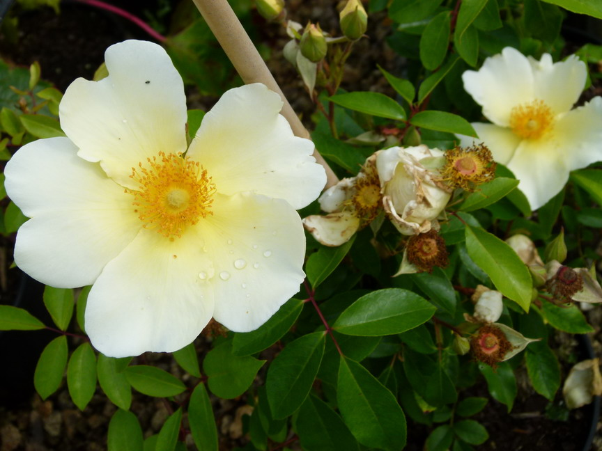 ROSA bracteata Mermaid