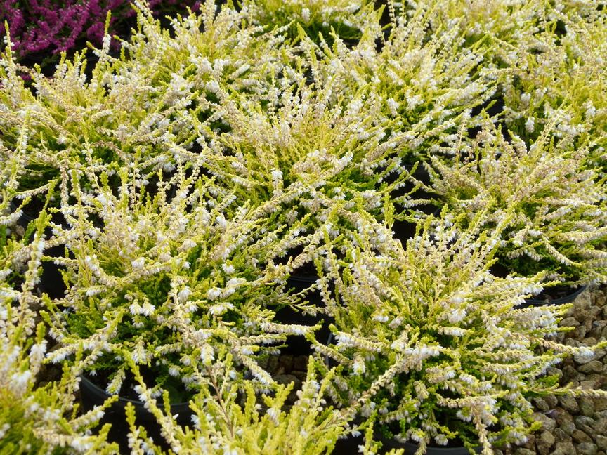 Plante la bruy re des photos des photos de fond fond d 39 cran - Plante de terre de bruyere ...