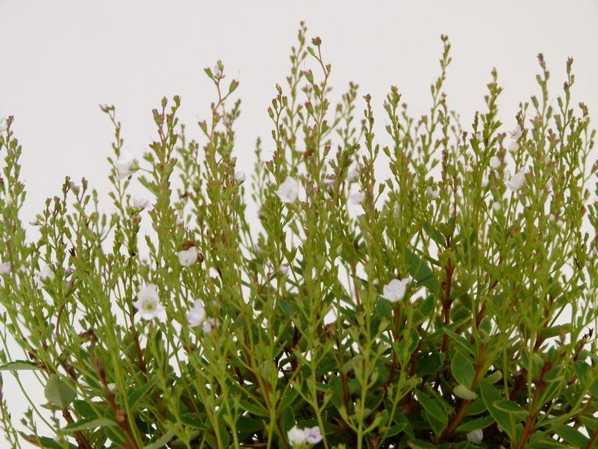 Parahebe lyallii parahebe lyallii p pini re en ligne for Commande de plantes en ligne