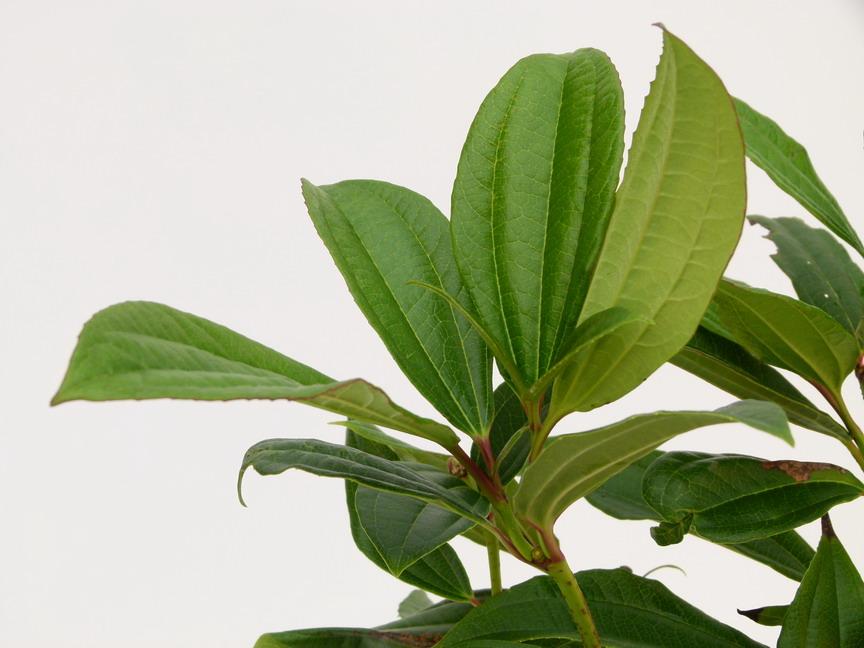 Viburnum davidii viburnum de david p pini re en ligne for Commande de plantes en ligne