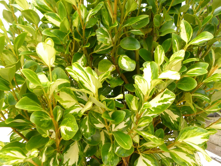 GRISELINIA littoralis Bantry Bay