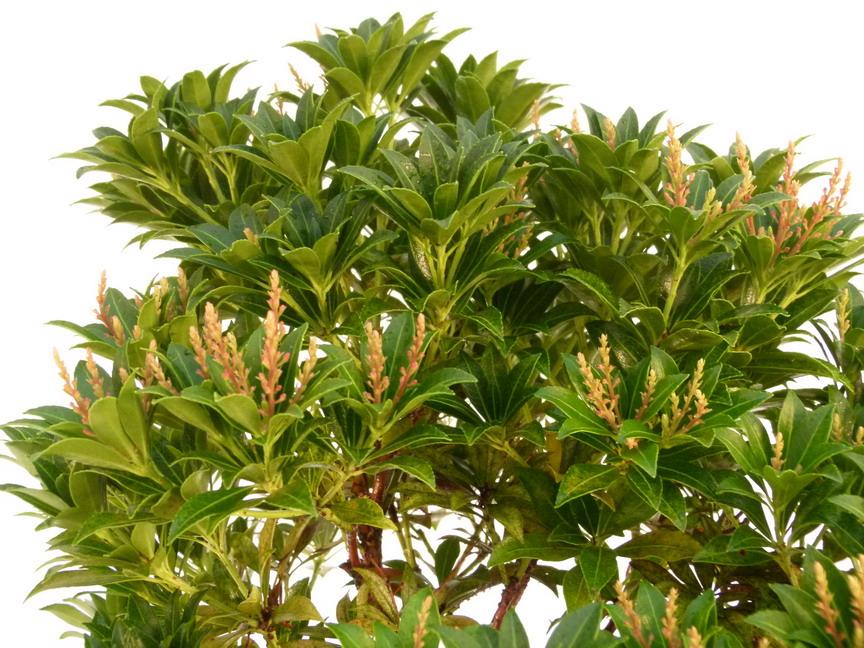 Pieris japonica gavotte androm de du japon gavotte for Commande plante en ligne