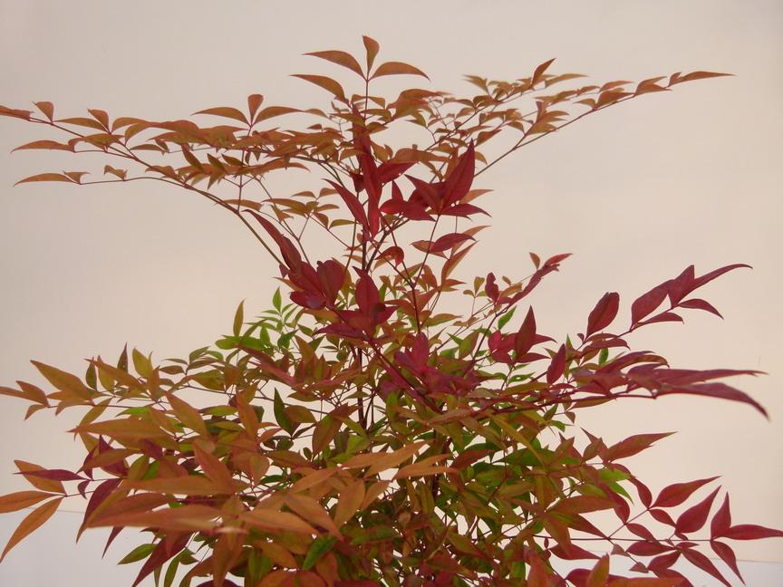 Nandina domestica bambou sacr bambou c leste bambou de la f licit p pini re en ligne de - Bambou sacre fire power ...