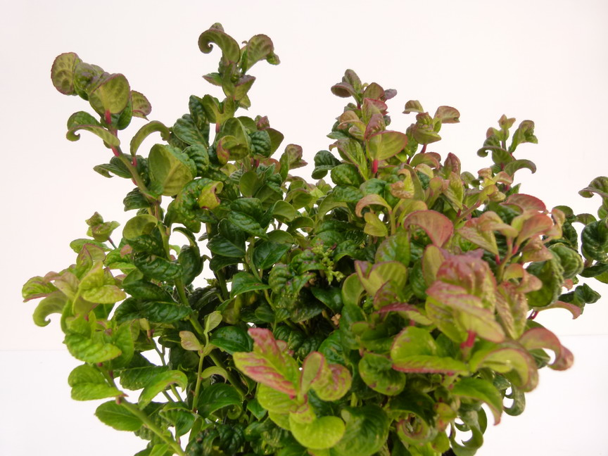 Leucothoe axillaris curly red leucotho curly red for Commande de plantes en ligne