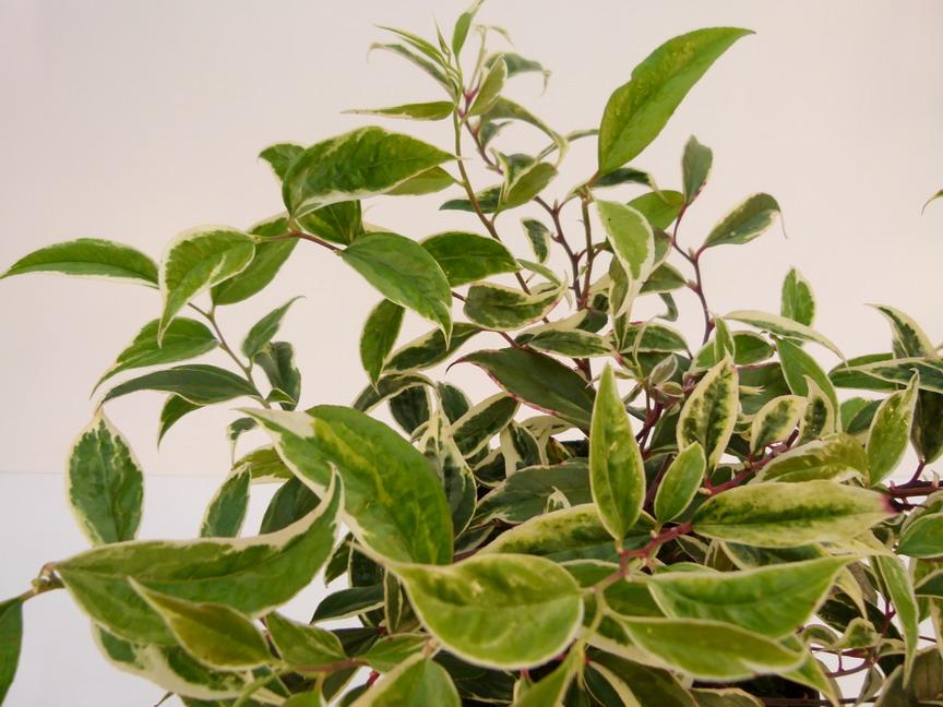 Leucothoe fontanesiana white water leucotho de for Commande plante en ligne