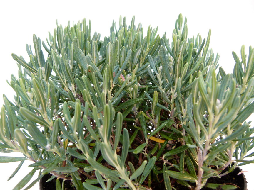 Andromeda polifolia blue ice romarin des tourbi res blue for Site de vente de plantes en ligne