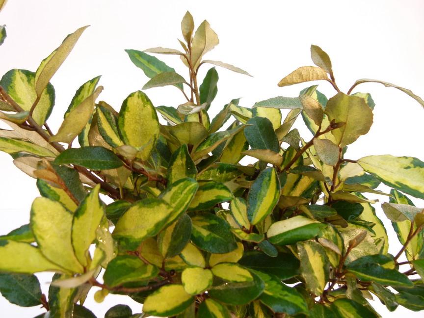 Elaeagnus eleador el agnus panach el ador for Commande de plantes en ligne