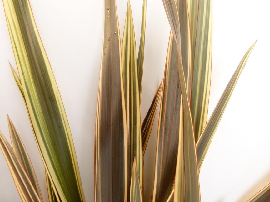 Phormium alison blackman lin de nouvelle z lande alison for Site de plante en ligne