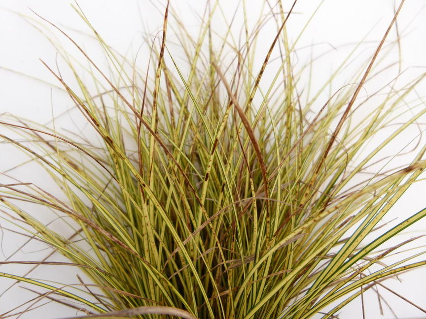 Carex brunera dor carex dor la che p pini re en for Site de plante en ligne