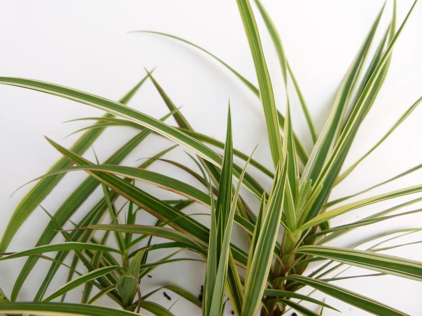 Carex phyllocephala sparkler carex sparkler la che for Commande de plantes en ligne