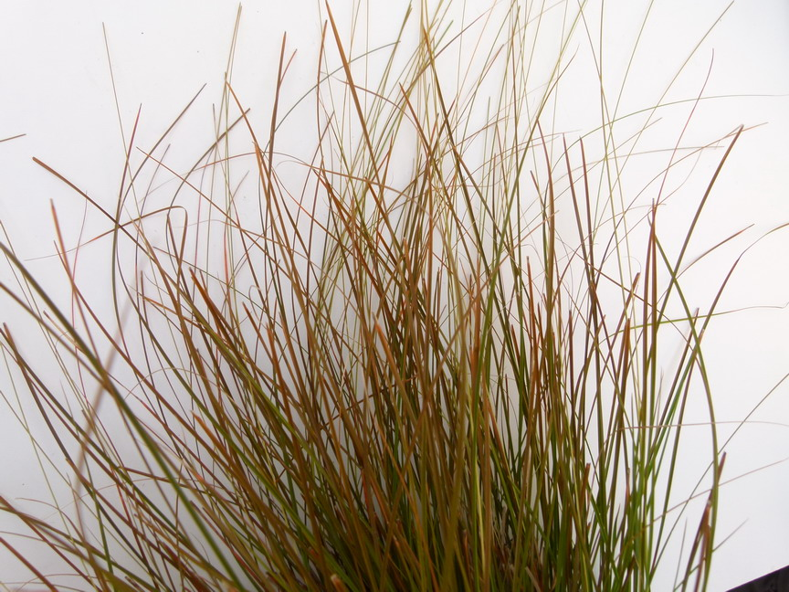 CAREX testacea Orange Cuivre